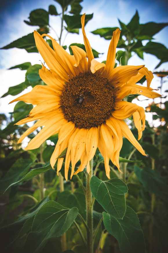 yellow sunflower close up photography